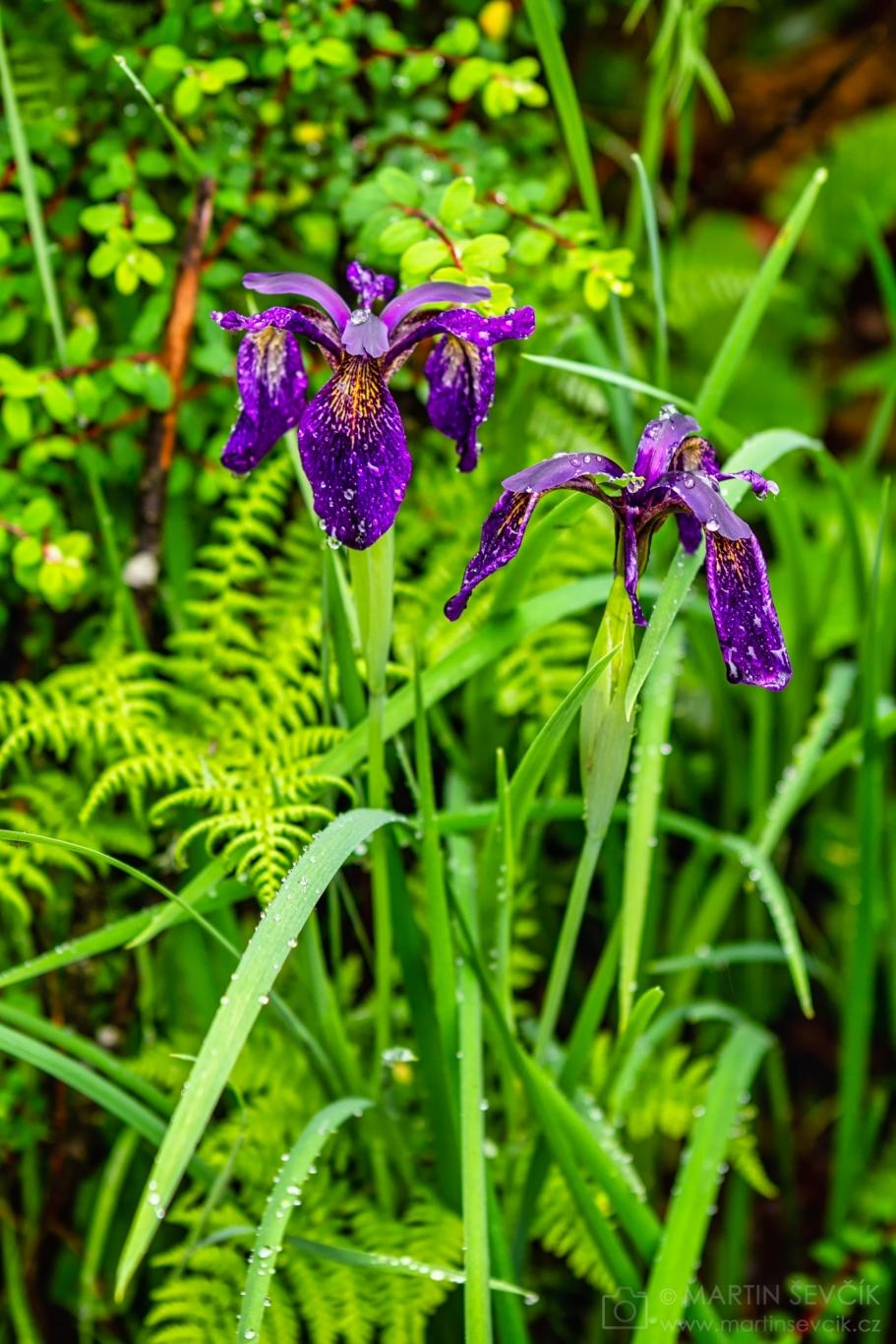 Wet Siberian iris in a nature reserve Potatso (Pudacuo) - Shangri-La