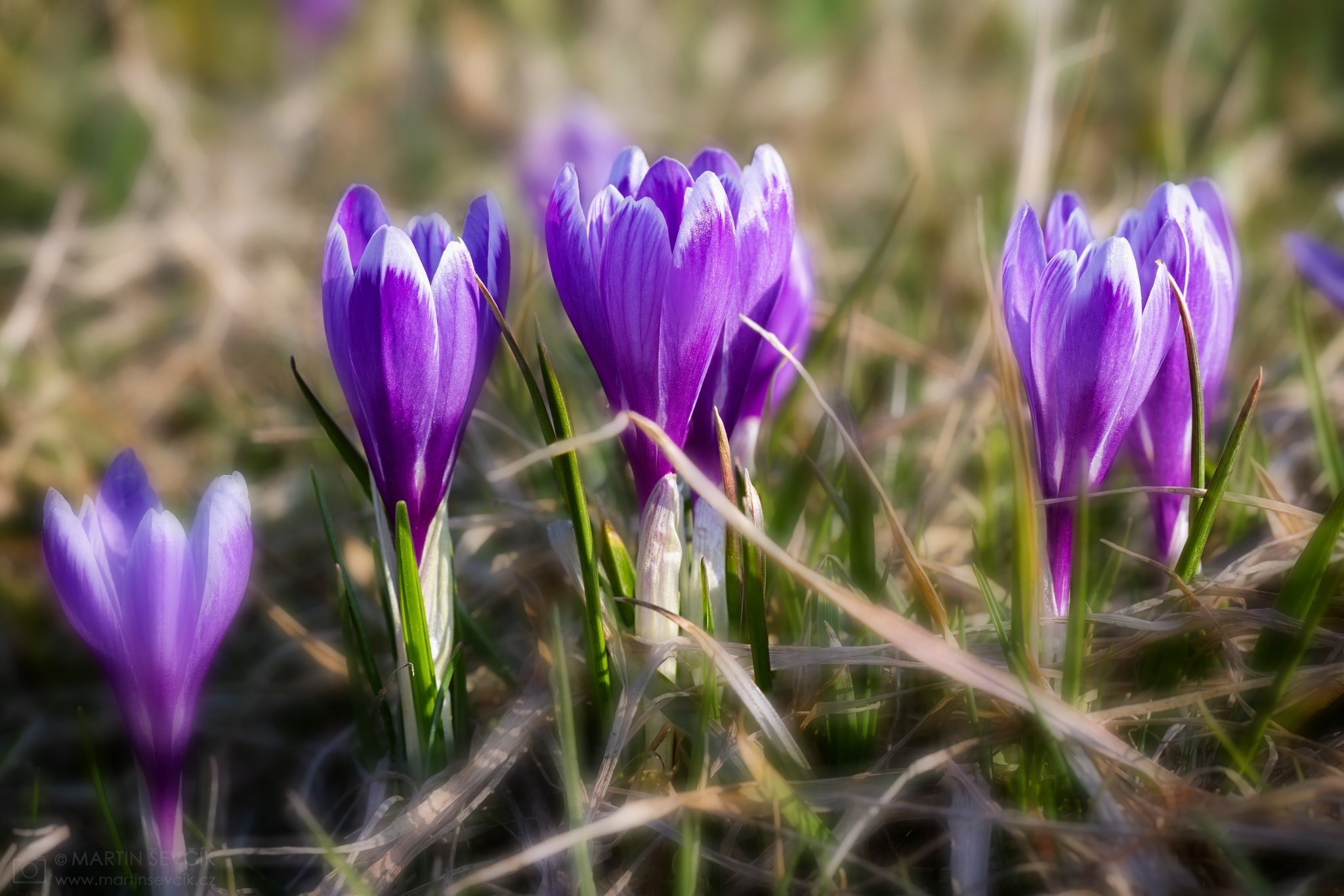 Spring flowering meadow with saffron