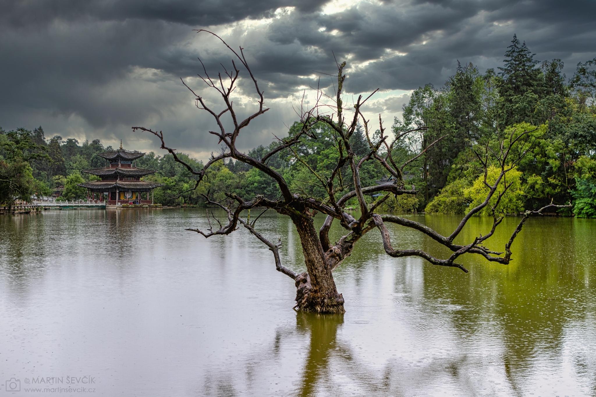 Dead tree in the Black Dragon Pool Park in the rain