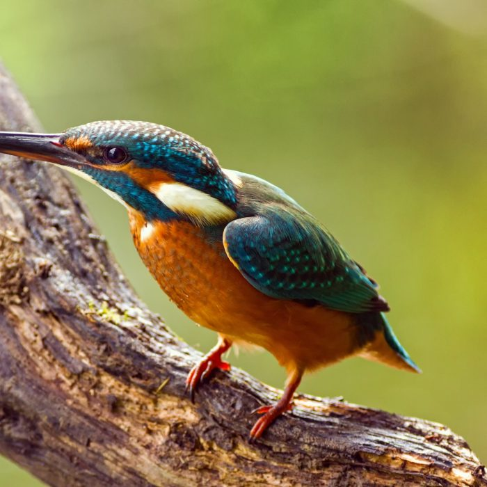 Kingfisher (Alcedo atthis) watching for prey, sitting on a branch